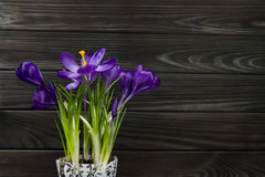 Фиолетовый крокус цветка в листьях бака предпосылка зеленой черноты тычинки pistil листьев деревянная Стоковые Изображения