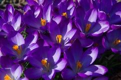 Фиолетовый крокус шафрана Стоковые Фото