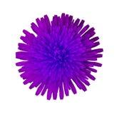 Фиолетовый круглый цветок на белизне изолировал предпосылку с путем клиппирования closeup Отсутствие теней Для конструкции Стоковая Фотография