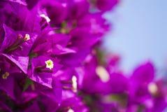 Фиолетовый крупный план бугинвилии Стоковое Изображение RF