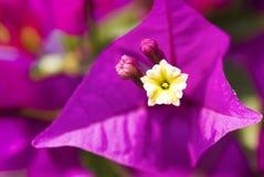 Фиолетовый крупный план бугинвилии Стоковое фото RF