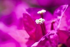 Фиолетовый крупный план бугинвилии Стоковые Изображения