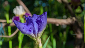 Фиолетовый крупный план цветка гладиолуса Стоковые Изображения