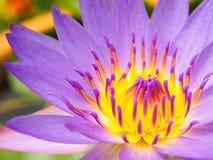 Фиолетовый крупный план цветка лотоса Стоковое фото RF
