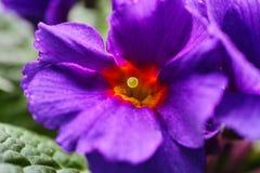 Фиолетовый макрос первоцвета Стоковое Изображение