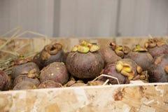 Фиолетовый мангустан плодоовощ, Таиланд Стоковые Изображения