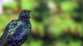 Фиолетовый лоснистый starling (purpureus Lamprotornis) Стоковое Изображение