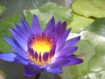 фиолетовый лотос в болоте Стоковое фото RF