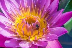Фиолетовый лотос и пчела Стоковая Фотография