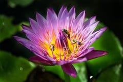 Фиолетовый лотос с пчелой Стоковая Фотография RF