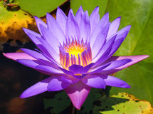 Фиолетовый лотос с светом в ем Стоковое Фото