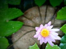 Фиолетовый лотос Стоковое Изображение