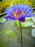 Фиолетовый лотос Стоковая Фотография RF