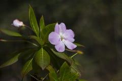 Фиолетовый одиночный цветок Стоковое Изображение