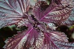 Фиолетовый папоротник Стоковое фото RF