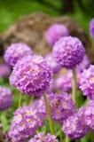Фиолетовый первоцвет Стоковое фото RF