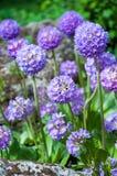 Фиолетовый первоцвет Стоковая Фотография RF