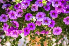 Фиолетовый пион Стоковое Изображение