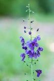 Фиолетовый полевой цветок Mullein Стоковое Изображение