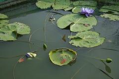 Фиолетовый пруд лотоса с солнечным светом Стоковые Фотографии RF