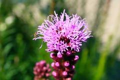 Фиолетовый расти Буша бабочки Стоковые Фото
