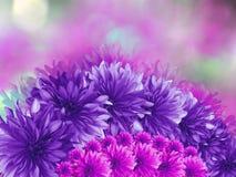 Фиолетовый--розовые цветки, на розовым предпосылке запачканной пурпуром Стоковые Фотографии RF