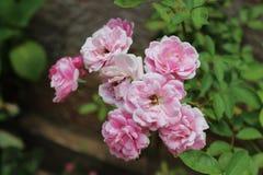 Фиолетовый розовый конец цветка вверх Стоковое Изображение RF