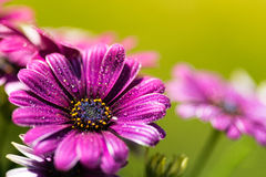 Фиолетовый розовый цветок маргаритки osteosperumum Стоковые Изображения