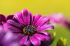 Фиолетовый розовый цветок маргаритки osteosperumum Стоковые Фотографии RF