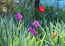 Фиолетовый сад тюльпанов стоковые фотографии rf