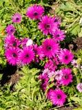 Фиолетовый сезон африканских маргариток весной Стоковое Фото