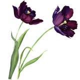 Фиолетовый тюльпан изолированный на белой предпосылке иллюстрация вектора