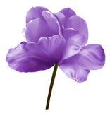 Фиолетовый тюльпан цветка на белизне изолировал предпосылку с путем клиппирования Конец-вверх Отсутствие теней Снятый белизны Стоковое Изображение RF