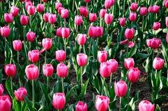 Фиолетовый тюльпан Стоковые Изображения