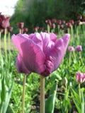 Фиолетовый тюльпан (Tulipa - Gavota - тюльпан триумфа) Стоковые Фотографии RF
