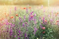 Фиолетовый луг цветков весной - полевые цветки в луге Стоковые Изображения