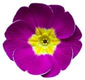 Фиолетовый фиолетовый Primula первоцвета Стоковые Изображения