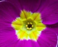 Фиолетовый фиолетовый Primula первоцвета Стоковое Изображение RF