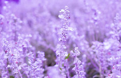 Фиолетовый цветок лаванд Стоковая Фотография RF