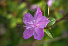 Фиолетовый цветок азалии Красивое фото крупного плана макроса Стоковое Изображение RF