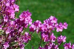 Фиолетовый цветок азалии Стоковое фото RF