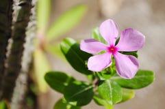 Фиолетовый цветок барвинка Madagasgar стоковое изображение