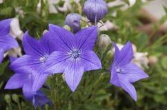 Фиолетовый цветок баллона Стоковые Изображения