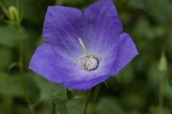 Фиолетовый цветок баллона Стоковое Изображение