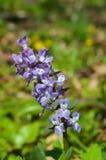 Фиолетовый цветок весны Стоковое Изображение