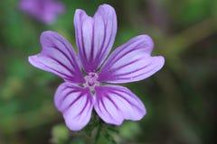 Фиолетовый цветок в горе Belasitsa Стоковое Изображение RF
