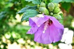 Фиолетовый цветок гибискуса с падениями дождя Стоковые Изображения RF