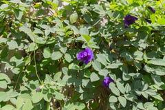 Фиолетовый цветок гороха бабочки Стоковая Фотография RF