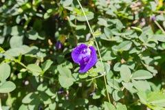 Фиолетовый цветок гороха бабочки Стоковые Фотографии RF