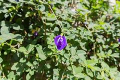 Фиолетовый цветок гороха бабочки Стоковые Изображения RF